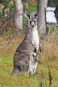 Kangaroo_and_joey03